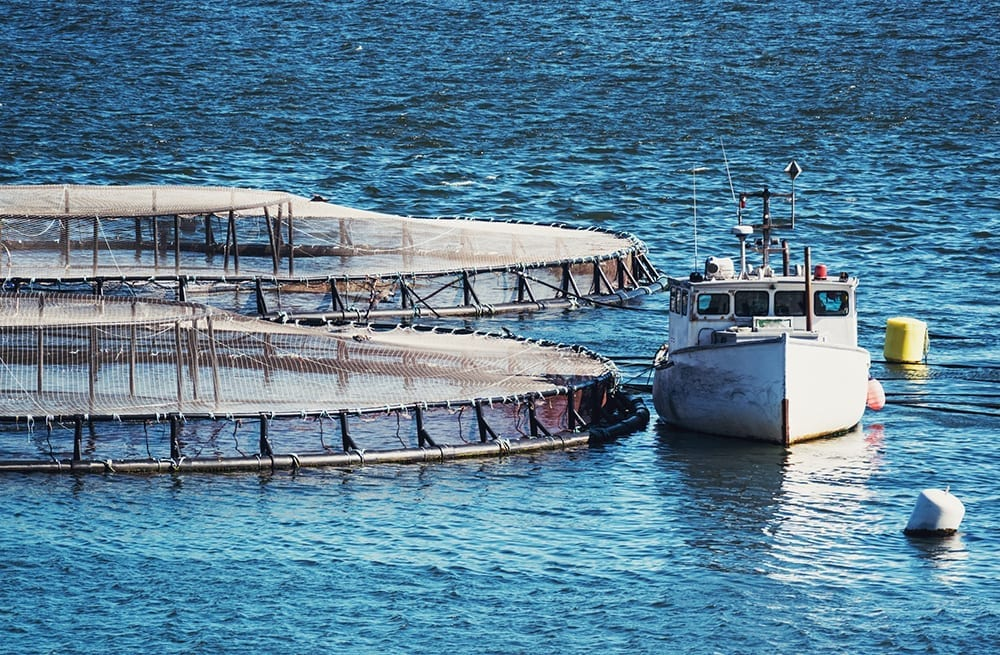 salmon fish farming