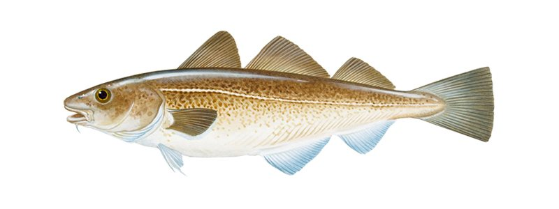 Drawing of a cod fish