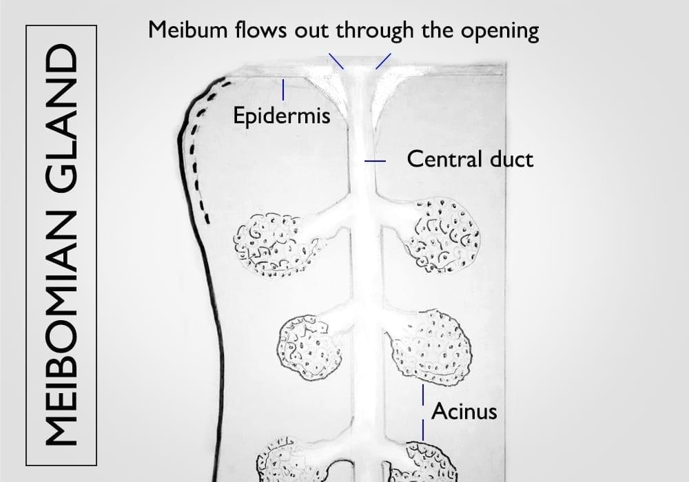 tear duct meibomian gland how it works